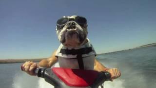 JetSkiing Bulldog; Diesel the jet skiing bulldog