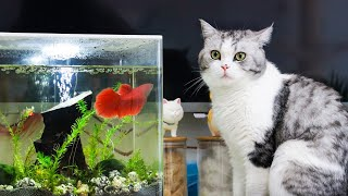 [Cat Live] Little red fish as new member is coming to home and make friends with cats
