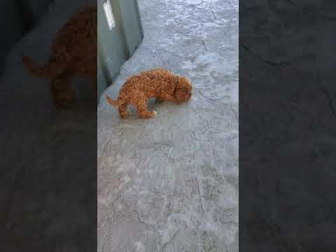 Bear - Cavapoo puppy for sale