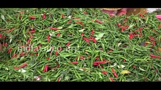 Collecting chillies: Chilli farming in Maharashtra