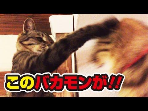 猫たちのかわいい頂上決戦!~Cute final battle of cats!~