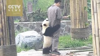 Clingy panda won't let zookeeper leave