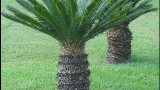 The Incredible and Easy to Grow Sago PALM