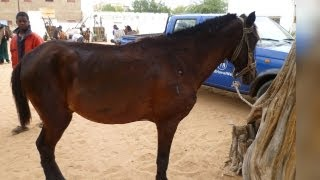 preview picture of video 'Helping horses in Senegal, one hour at a time'