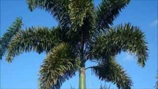 Palmeira Rabo-de-Raposa