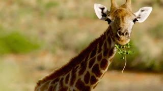 Giraffe - Anatomy