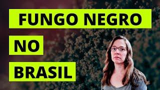 Fungo Negro no Brasil