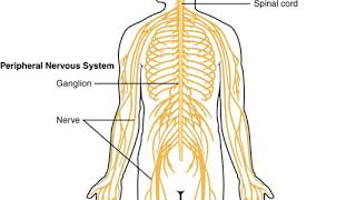Central nervous system   Wikipedia audio article