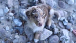 Ilko & Paul - Australian Shepherd