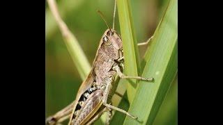 "Breaking: ""Plague Of Locust Hits Tiny Greek Island"""