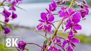 Spring Flowers - 8K Beautiful Wallpapers Slideshow For Office, Lounge, TV Relaxation