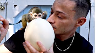 Baby Monkey oLLie Eats HUGE Ostrich Egg (GIVEAWAY)