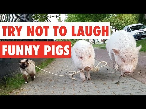 , title : 'Try Not To Laugh | Funny Pigs Video Compilation 2017