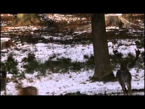 Samice muflona