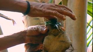 Toddy Tapping in Kerala