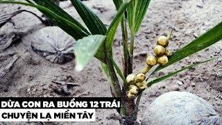 Chuyện lạ, cây dừa con trổ buồng ra trái   Hương Vị Miền Tây
