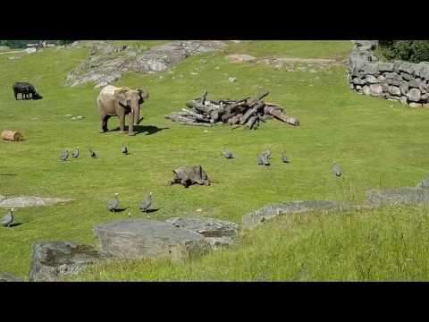 Слонёнок гоняет птиц