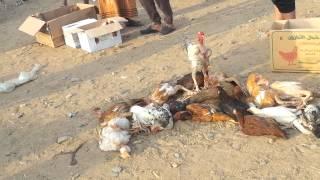 سوق الطيور موقع الجديدفي نخلان بدل سوق صبياء