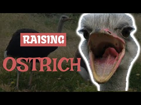 , title : 'Ostrich Farming For Beginners