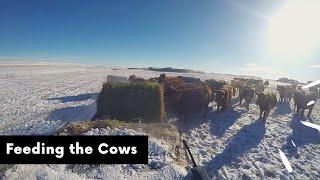 Feeding the Cows thumbnail