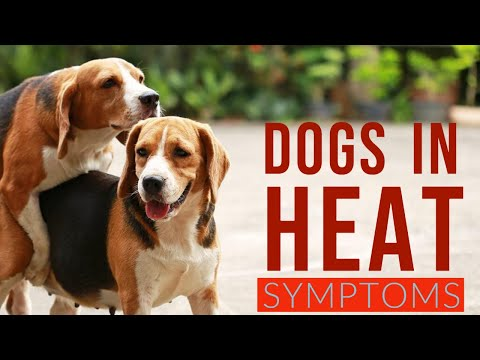 , title : '🔥Tips and Complete Guide dog in heat symptoms - Dog heat cycle - dog coming into season symptoms 👍