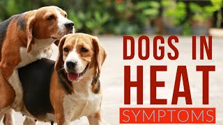 🔥Tips and Complete Guide dog in heat symptoms - Dog heat cycle - dog coming into season symptoms 👍