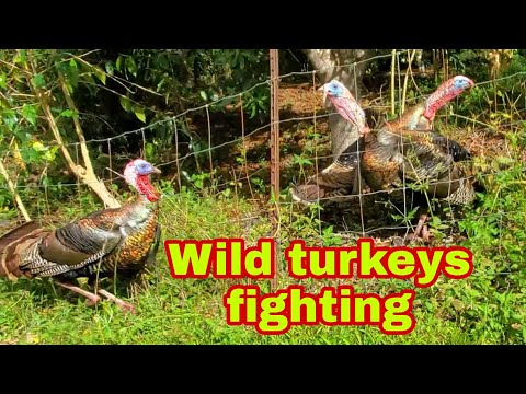 , title : 'Wild turkeys fighting.