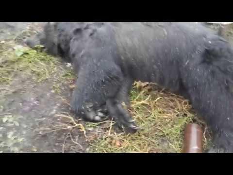 Очевидцы: «Сбежавший из зоопарка медведь 40 минут бегал по селу»