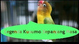 Masteran Lovebrid Ngekek Rapat Dan Panjang Kusumo
