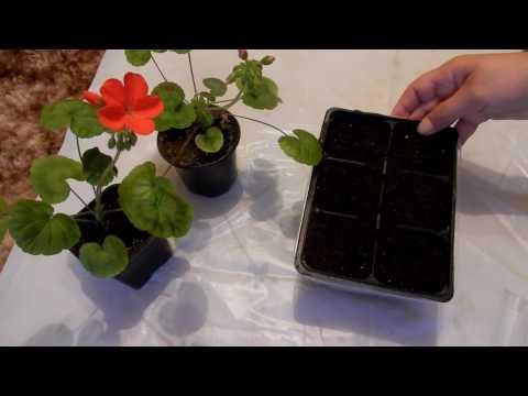 Семена из Китая  Пеларгония  посев Комнатные цветы  герань  с Алиэкспресс