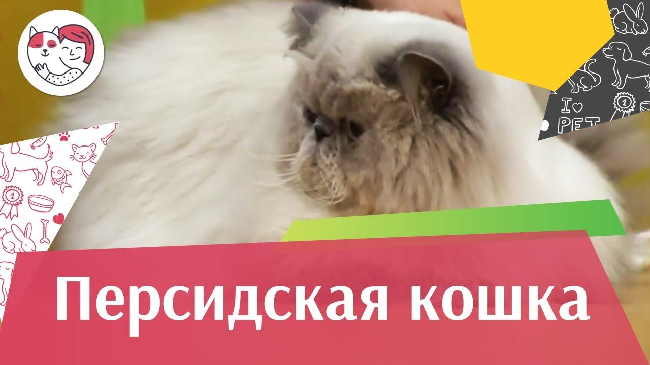 Персидская кошка на ilike.pet Уход