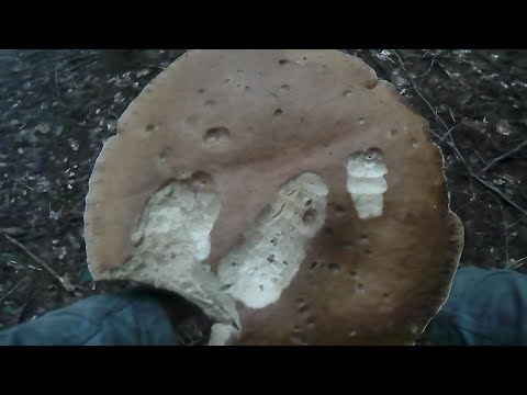 збираємо білі гриби.собираем белые грибы.Collect white mushrooms.