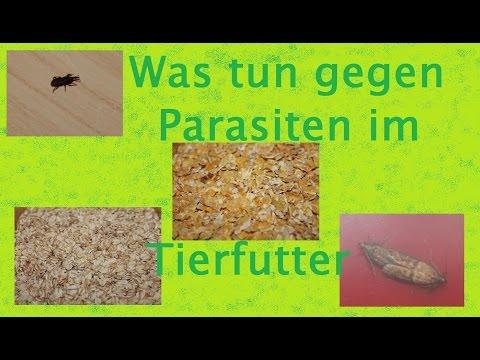 Die Würmer toksokary kanis