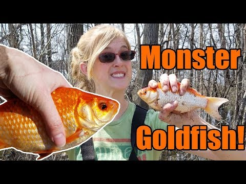 Why you Should NEVER Release Goldfish into the Wild