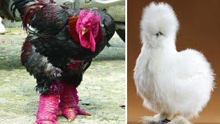 Chicken Breeds You Won't Believe Actually Exist