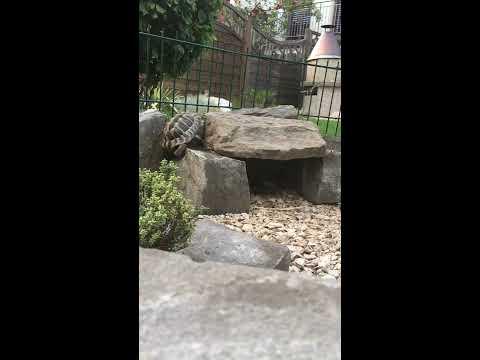 Die Schildkröte die auf den Stein klettert und hinunterfällt (#bestertitel)