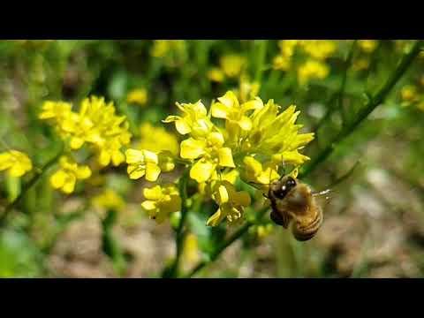 , title : 'WIld Mustard Attracts Honey Bees