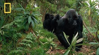 """Nat Geo Wild  - """"Kingdom of the Apes"""" Clash of Kings - National Geographic"""