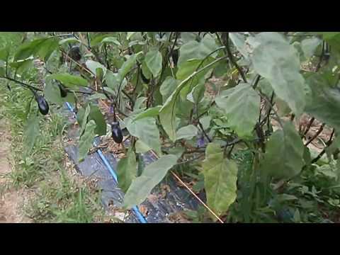 水ナスの栽培 8月12日畑の様子