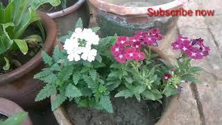 How to care verbena plant
