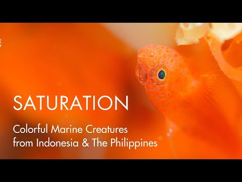 SATURATION - Colorful Marine Creatures from Indonesia & The Philippines