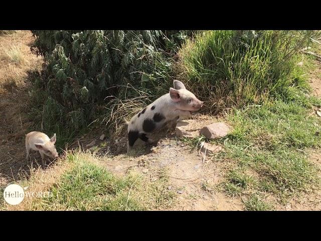 Quietschfidel: Schweinchen in einem Dorf am Titicacasee