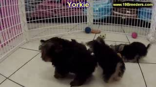 Yorkshire Terrier, Yorkie, Puppies, Dogs, For Sale, In Hempstead Town, Borough, New York, NY