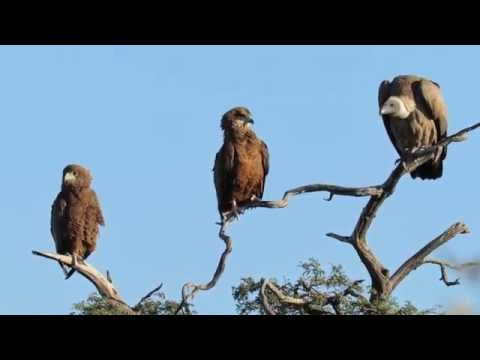 Vulture vs Eagles for the top branch