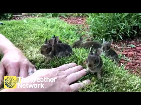 Man Coaxes Nest Of 6 Baby Bunnies Out From His