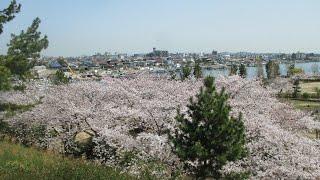 明石海浜公園 桜
