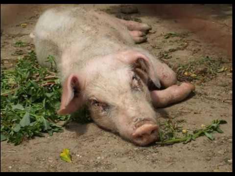 Болезни свиней - как распознать и чем лечить?