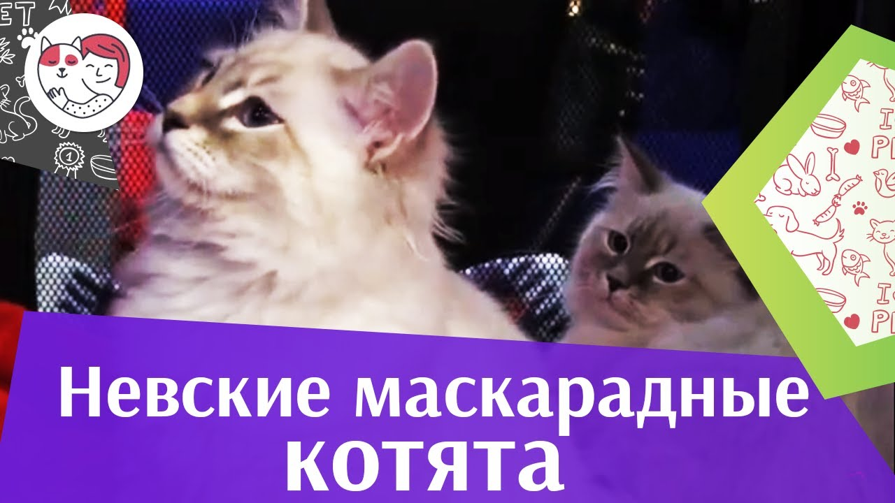 Невская маскарадная кошка котята на Кэтсбург 17 ilikepet