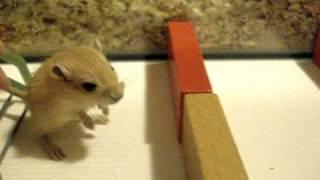 Baby Agility Gerbil (beginner)