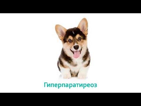 Гиперпаратиреоз. Ветеринарная клиника Био-Вет.